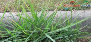 manfaat-rumput-teki