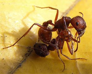 Semut Tahu Sinyal Kematian Temannya