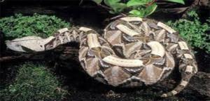 ular buta