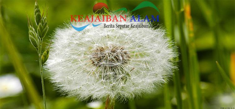 Manfaat-Bunga-Dandelion-Untuk-Pengobatan