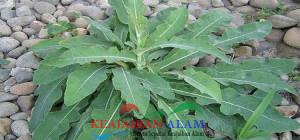 manfaat daun tempuyung untuk pengobatan
