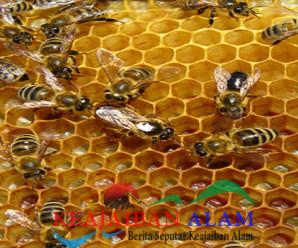 Khasiat Sarang Lebah Untuk Pengobatan