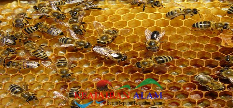 khasiat-sarang-lebah-untuk-pengobatan