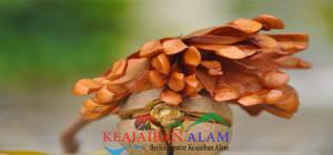 manfaat biji mahoni untuk pengobatan