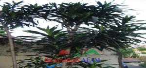 manfaat daun suji untuk pengobatan