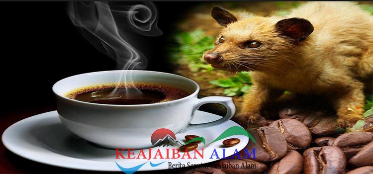 manfaat minum kopi luwak untuk kesehatan