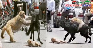 Hewan Juga Mempunyai Naluri Manusia, Viral Aksi Heroik Induk Monyet Pertaruhkan Nyawa Demi Selamatkan Anaknya Dari Gigitan Anjing Liar