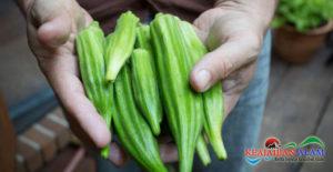 6 Manfaat Sehat Dari Mengonsumsi Sayuran Okra, Salah Satunya Mengatasi Wasir