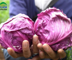 Penuhi Kebutuhan Vitamin dan Mineral Anda, Ini Dia 4 Manfaat Sehat Dari Kubis Ungu