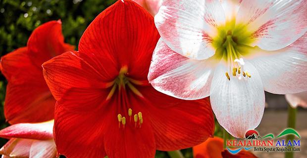 Legenda dan Makna Bunga Amarilis Yang  Menyimpan Kisah Cinta