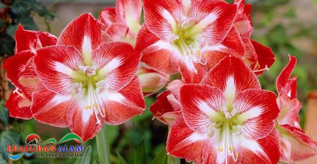 Selain Indah, Ini Dia 6 Manfaat Ampuh Dari Bunga Amarilis