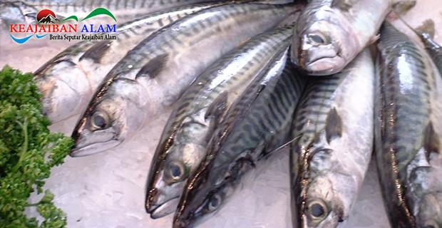 Ternyata Bukan Salmon, Nilai Kandungan Gizi Tertinggi Ada Pada Ikan Kembung, Yuk Cari Tahu!