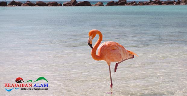 Mengapa Flamingo Suka Berdiri Dengan Satu Kaki? Yuk Cari Tahu Alasannya