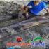 Tulang Paha Dinosaurus Raksasa Ditemukan Beratnya 500 Kg